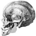Cambridge Natural History Mammalia Fig 281.png