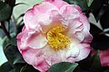 Camellia japonica Doctor Tinsley 0zz.jpg