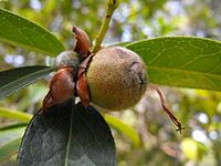 Camelliapitardiipit