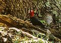 Campephilus magellanicus -Tierra del Fuego, Argentina -male-8.jpg