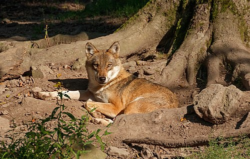 Wolf; Wildpark Knüll, Germany