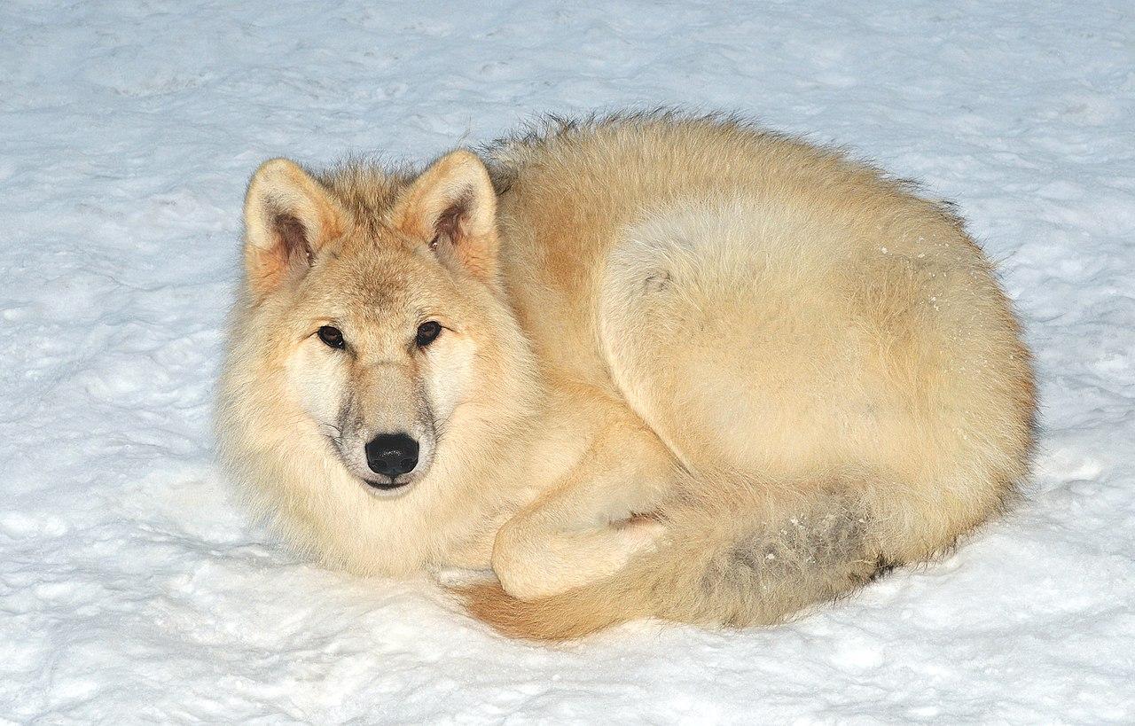 Px Canis Lupus Arctos Pocock C