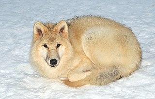 Loup Arctique dans LOUP 320px-Canis_lupus_arctos_%28Pocock%2C_1935%29