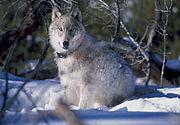 A radio-collared wolf.