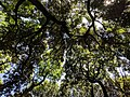Canopy of trees at Meiji Shrine.jpg