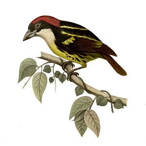 Five-coloured barbet - Image: Capito quinticolor