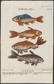Carassius auratus - 1700-1880 - Print - Iconographia Zoologica - Special Collections University of Amsterdam - UBA01 IZ15000058.tif