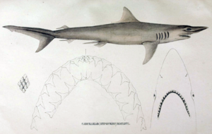 Carcharias macloti by muller and henle.png
