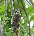 Cardinal Woodpecker (Dendropicos fuscescens) female (13606435084).jpg