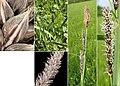 Carex acutiformis (03).jpg