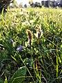 Carex caryophyllea sl35.jpg