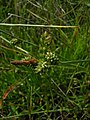 Carex extensa inflorescens (6).jpg