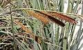 Carex spissa inflorescences203-07-03.jpg