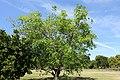 Casimiroa edulis - Fruit and Spice Park - Homestead, Florida - DSC08989.jpg