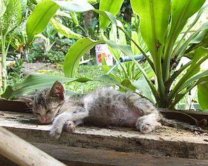 English: Kucing tidur