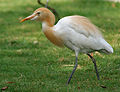 Cattle Egret (Bubulcus ibis) in Hyderabad W IMG 8256.jpg
