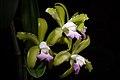 Cattleya tigrina fma. lilacina A.Rich., Portef. Hort. 2 166 (1848) (29549829287).jpg