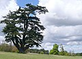Cedar in Brightwell Park (geograph 3444819).jpg