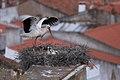 Cegonha Branca ( Ciconia ciconia ) 11 (48309131297).jpg