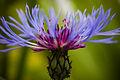 CentaureaBleuet.jpg