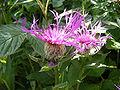 Centaurea pseudophrygia DSCF1639.JPG