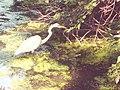 Central Park egret.jpg