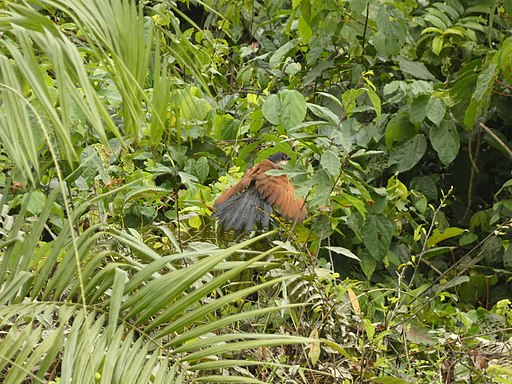 Centropus Nationalpark Tai