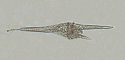 noctiluca gonyaulax og ceratium