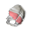 Cerebellar fossa of occipital bone02.png