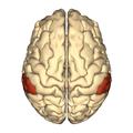 Cerebrum - supramarginal gyrus - superior view.png