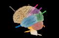 Cerebrum lobes.png