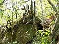 Cereus peruvianum en el monte - panoramio.jpg
