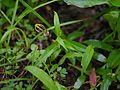 Ceropegia concanensis (9522686763).jpg