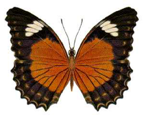 Cethosia cydippe chrysippe.png