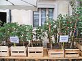Chênes truffiers - plants 2.jpg