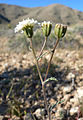 Chaenactis stevioides 2.jpg