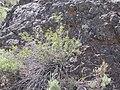 Chamaebatiaria millefolium (4344867291).jpg