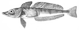 Champsocephalus gunnari PlateXX fig2 Regan1913.jpg