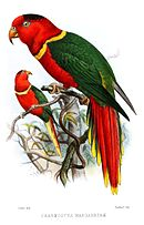 Drawing of a red parrot with black crown, yellow neck ring and tail tips, and green wings