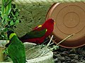 Chattering Lory and Coconut Lorikeet.jpg