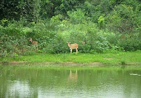 Cheetal (spotted deer) at Van Vihar National Park.jpg