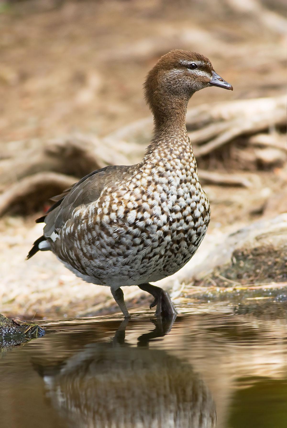 Australian wood duck - Wikipedia