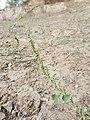 Chenopodium urbicum sl56.jpg