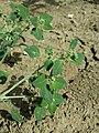 Chenopodium vulvaria sl141.jpg