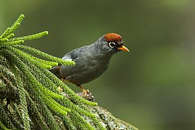 Chestnut-capped Laughingthrush - Malaysia MG 6034 (19301836820).jpg
