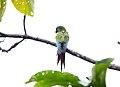 Chestnut-fronted Macaw (Ara severus) (9496924301).jpg