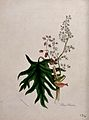 Chinese or Turkish rhubarb (Rheum palmatum); flowering and f Wellcome V0043961.jpg