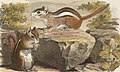 Chipmunks detail from Chipping or Ground Squirrel (Fence Mouse) by Boston Public Library (cropped).jpg