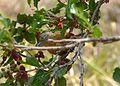 Choca barrada (Tamnophilus doliatus).jpg