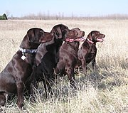 These chocolate Labs from field-bred stock are typically lighter in build and have a shorter coat than show-bred Labs
